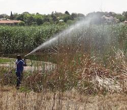 Reed spraying