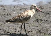Bar-tailed Godwit by Jan de Beer