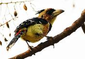 Crested Barbet by Eugene Liebenberg