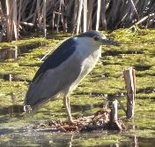 Black-crowned Night Heron by Jane Trembath