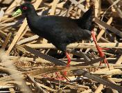 Black Crake by Jan de Beer