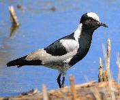 Blacksmith Lapwing by Jan de Beer