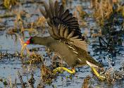 Common Moorhen by Eugene Liebenberg