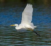Yellow-billed Egret by Eugene Liebenberg