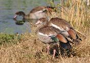 Egyptian Geese by Rob Bartelink