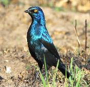 Glossy Starling by Jan de Beer