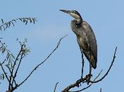 Black-headed Heron by John Kelly
