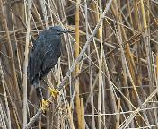 Black Heron by John Kelly