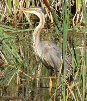 Purple Heron by Jane Trembath