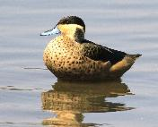 Hottentot Teal by Jan de Beer