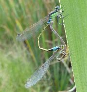 Tropical Bluetail tandem mating