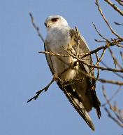 Black-Shouldered Kite by Eugene Liebenberg