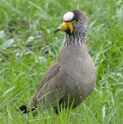 Wattled Lapwing by Jane Trembath