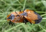 Lycus rostratus mating pair