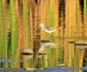 Marsh Sandpiper by Jan de Beer