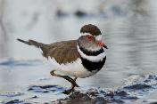Three-banded Plover by Eugene Liebenberg
