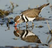 Three-banded Plover reflection by Eugene Liebenberg