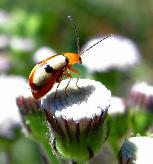 Small-eyed leaf Beetle by Jonathan Hemson