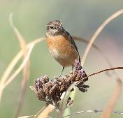 Stonechat female by Jim Rankin