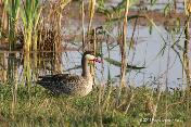 Red-billed Teal by Denis Rivard