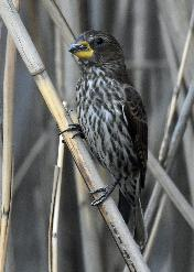 Thick-billed Weaver female by Eugene Liebenberg