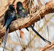 Green Woodhoopoes by Eugene Liebenberg