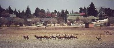 Buck herd at Korsman