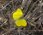 Broad-bordered Grass Yellow upperwings