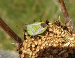 Grass Stink bug