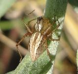 Oxyopes