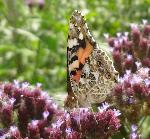 Painted Lady underwing