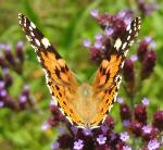 Painted Lady upperwing