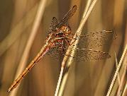 Two-striped Skimmer female by John Kelly