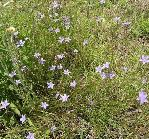 Wahlenbergia_undulata African_bluebell